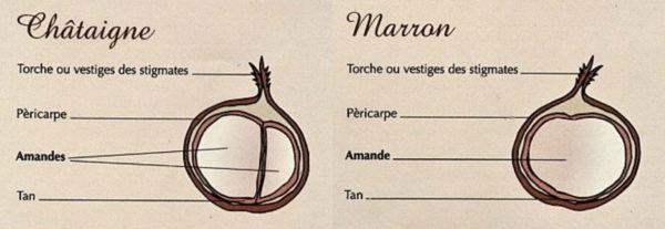 image-chataigne-et-marron-chataigne-des-cevennes